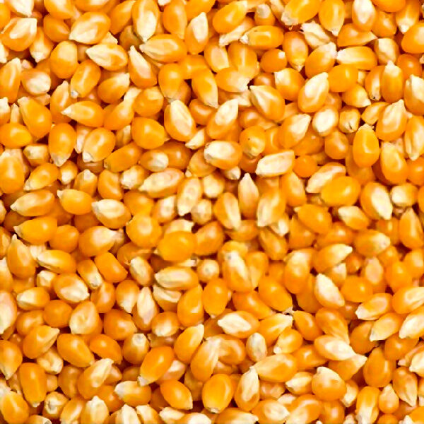 Popping Corn Kernels