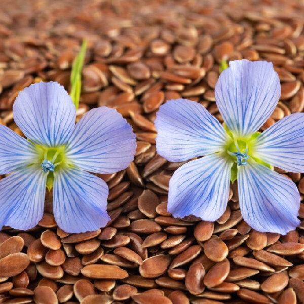 Linseeds Flaxseeds